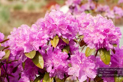 04-20-2011_purple_azaleas_wm
