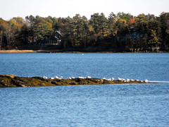 Wolfs Neck State Park 48 (RonG58) Tags: ocean park travel usa seagulls fall nature water birds landscape island harbor photo day waterfront photos wildlife maine scenic preserve freeportmaine rong58