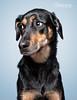 Her go to look (chad.latta) Tags: portrait people dog chien animal puppy one eyes nikon chad shepherd no canine perro strobe latta kayce d80 strobist ldlportraits gapapr2011cl