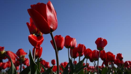 Skagit Valley Tulip Adventure