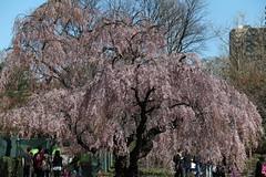 Brooklyn, NY (cisc1970) Tags: brooklyn cherryblossom sakura hanami brooklynbotanicalgarden canonefs18200mmf3556is cisc1970