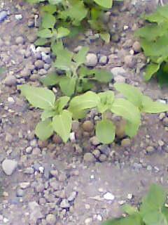 Sonnenblumen Baumscheibe Escher Wyss Platz
