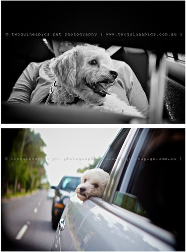 Car ride Mozart poodle cross maltese dog photography by twoguineapigs Pet Photography
