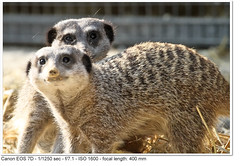 2011_04_25_1615 (John P Norton) Tags: fauna manual f71 mongoose ef100400mmf4556lisusm 11250sec focallength400mm canoneos7d copyright2011johnnorton