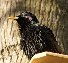 European Starling (dmarie13) Tags: nature backyard connecticut ct northhaven sonya300