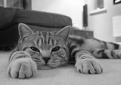 A cat's eye view... (Lady Haddon) Tags: copyright cat 20mm allrightsreserved 2011 britishsilvertabby bestofcats kimhaddon kimhaddonphotography