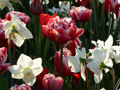 Daffodils & Tulips (treegrow) Tags: plant nature washingtondc dc tulipa nationalbotanicgarden liliaceae cultivated angiosperms lifeonearth panasoniclumixdmczs5