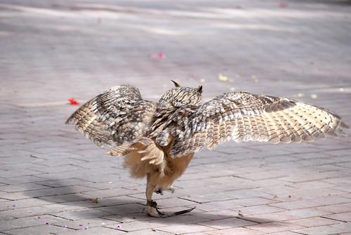 歩くベンガルワシミミズク (Walking Rock Eagle Owl)