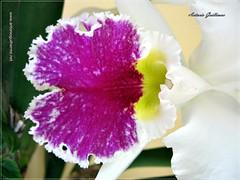 Flores (Antonio Guilherme) Tags: pink flores verde branco azul de amor laranja flor chuva rosa amarelo lirio hibisco cerrado petunia crisantemo ema dalia canela cebola ouro violeta roxo marrom lilas africana perfeito trevo amorperfeito chuveirinho hortencia cravo caneladeema rajado alaranjado chuvadeouro mesclado capuchinha nifeia flamboia aorquidea vravina flboi