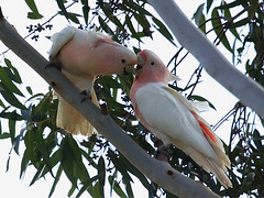 Major Mitchell's Cockatoo (Lophochroa leadbeateri) - Just Smoochin' (David Cook Wildlife Photography (kookr)) Tags: australia nsw pinkcockatoo cacatualeadbeateri majormitchellscockatoo kookr lophochroaleadbeateri sonysal70400g merriwagga davidcookwildlifephotography sonyslta33 2011davidphotographyallrightsreserved taxonomy:binomial=lophochroaleadbeateri