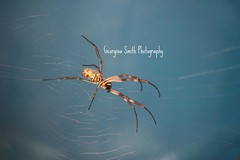 Spider. (Georgina Smith Photography) Tags: brown white london photography zoo spider big focus long colours legs body web spiderweb smith society yello bluw georgina backround zoological