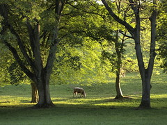 To Safely Graze (cycle.nut66) Tags: trees light four evening cow chilterns peaceful olympus hills pasture micro su zuiko beech grazing chiltern graze thirds beutiful epl1