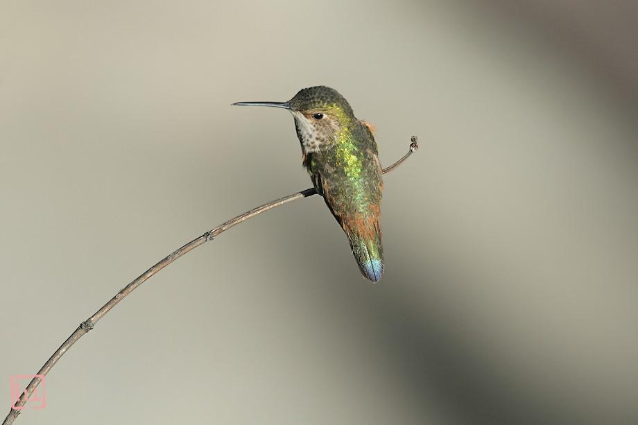Allen's Hummingbird 050211