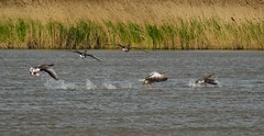 Greylag Geese1 (GemElle Photography) Tags: blue water grass wow fly flying amazing cool bed wings nikon beds elle flight beak bank flies splash sands flap banks gem blacktoft d3100 gemelle1