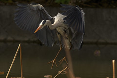 """You Said to Drop By If ..."" (jcowboy) Tags: bird heron nature birds animal animals japan asia wildlife aichi herons obu greyheron 2011  hoshinaike mayl2011"