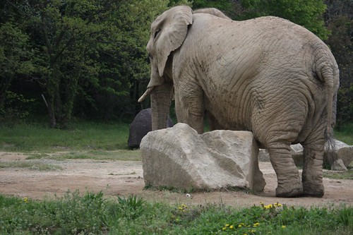 アフリカゾウ / African elephant