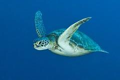 turtle5239pw (gerb) Tags: blue beautiful topv111 1025fav 510fav wow topv555 topv333 underwater turtle topv999 scuba pi topv777 d200 palau tvp 105mmf28gfisheye