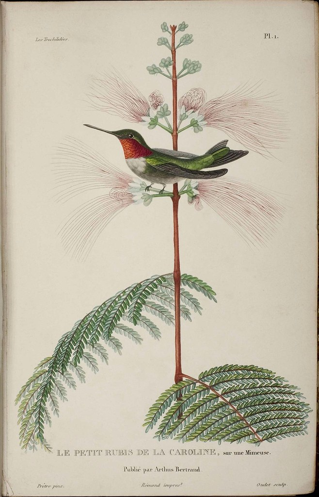 19th century hummingbird illustration