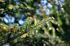 DSC03328 (Jurek.P) Tags: trees nature spring branch cone poland jurekp sonya500