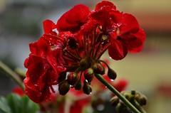 Tears (enri23) Tags: red flower rain drops nikon balcony fiore rosso pioggia balcone gocce terrazza d5100 mygearandme enri23