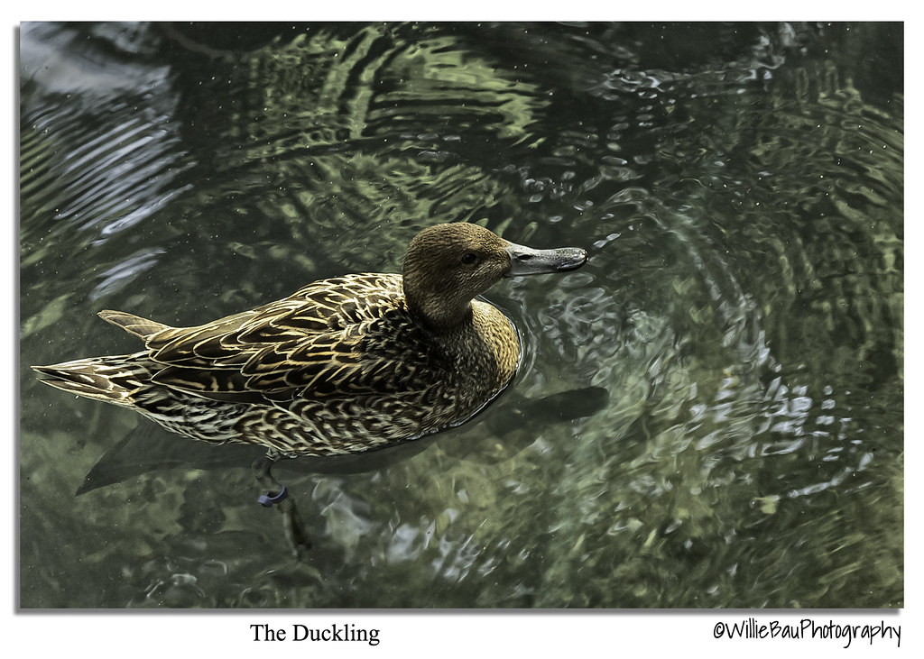 The Duckling.