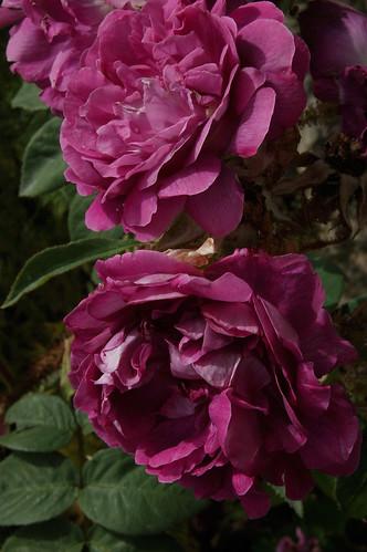 """Rosa """"William Lobb"""""""