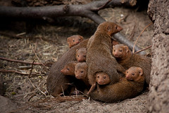 Living In The Family (Harri_1970) Tags: africa family wallpaper portrait cute love nature animal finland mammal zoo helsinki warm head background touch watching group together pile canon5d korkeasaari elintarha helogaleparvula dwarfmongooses