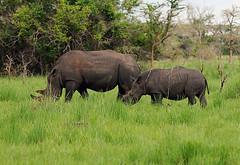 Nandi & Obama Mother and Son White Rhinos, Nandi, Female White Rhino Ziwa Rhino Sanctuary, Uganda