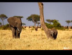 Baby Scratching, Mother watching (Marcio Ruiz) Tags: africa wild baby elephant cub kenya wildlife mara massai filhote masai scratching elefante masaimara selvagem savana vidaselvagem quenia paquiderme marcioruiz qunia mruiz mrruiz