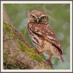 Chevêche d'Athéna Athene noctua - Little Owl (aziouezmazouz) Tags: macro bird nature de natural aves viveiro bellissima avianexcellence celiaurora saariysqualitypictures onlythebestofnature blinkagain amazingwildlifephotography