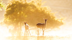 in the mist (andrew evans.) Tags: lighting wood morning autumn england sun white mist tree nature misty fog fairytale forest sunrise kent woods nikon bokeh wildlife calm deer ethereal flare wonderland storybook magical f28 enchanted d3 400mm