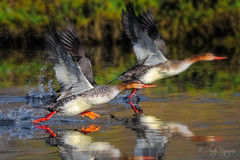 Keeping the Dream Alive [Explored #19 June 12, 2011] (Wild Wings Photography) Tags: wild two bird nature water fly wings nikon action wildlife pair run takeoff bolsachica merganser d300 andynguyen avianexcellence