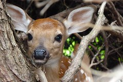 Tiny Fawn Has Lost Its Mother (only temporarily) (Joseph Hollick) Tags: fawn cedarhedge westdale hamilton hiding eyeonthearea