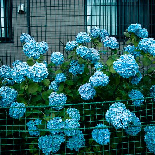 Hydrangea Net