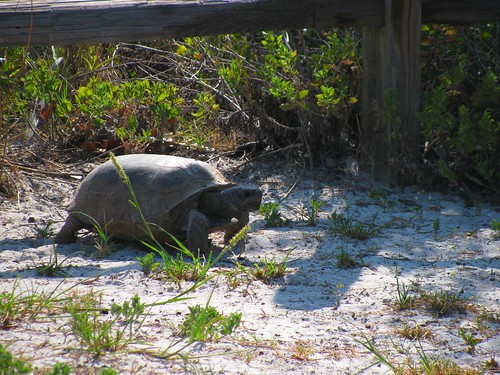 IMG_5621-Bowditch-gopher-tortoise