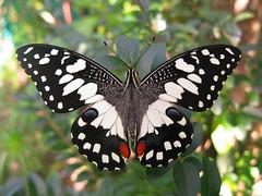 Papilio demoleus (Male) (Lepsibu) Tags: australia lepidoptera papiliodemoleus papilionidae papilioninae