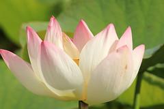 Parc Floral 025 (MUMU.09) Tags: photo foto lotus flor  bild blume fiore  imagem     flori       fiorediloto hoasen flordeloto  lotusblomma floweroflotus   lotosblume fleurdelotus     ltuszvirg kwiatlotosu  lotusblomst lotusblth lotusblm   lotosovkvt lotusiei mumu09