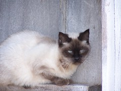Sedlacek Barn Cat (lmvande11) Tags: cat farm barns siamese iowa