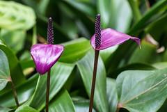 Anthurium Andraeanum (Kiwi-Steve) Tags: anthuriumandraeanum flower purple nz newzealand nikon