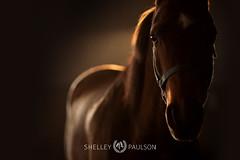 shelleypaulson_2011_008 (Shelley Paulson) Tags: arabian dramatic equine horse light rimlight