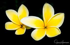 Twin Plumeria (jhambright52) Tags: macroflowers plumeria whiteplumeria cffaa