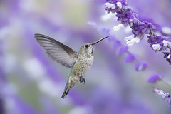 Full-frame Fun (Patricia Ware) Tags: annashummingbird birdsinflight california calypteanna canon ef400mmf56lusm fullframe mexicanbushsage palosverdespeninsula salvialeucantha httppwarezenfoliocom 2016patriciawareallrightsreserved rollinghillsestates unitedstates us specanimal