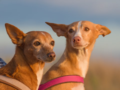 Best friends (waelti_de) Tags: podenco dogs hund portrait