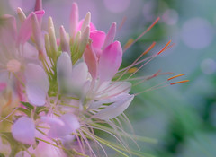 Cleome (kimberley. Finding art in nature) Tags: cleome spiderplant flower plant nature bokeh pentax pastel dreamy leaves pink