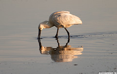 Lepelaar op Texel. #Texel #lepelaar #water #wadden #waddeneiland #justin #sinner #holland #canon #bird #vogel #refelction #reflectie #birding #waddeneiland #netherlands (JustinSinner.nl) Tags: lepelaar op texel water wadden waddeneiland justin sinner holland canon bird vogel refelction reflectie birding netherlands