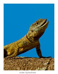 Reptil (aqualouco) Tags: reptil lagarto canont5i canon lizard macrophoto