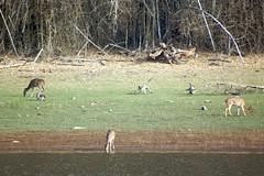 monkeys and deer ~ Nagarhole national park (LaylaLee) Tags: park india national gandhi karnataka rajiv
