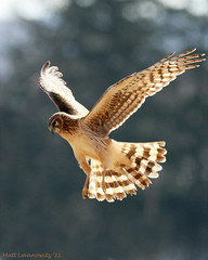 a golden Harrier (mattlev12) Tags: