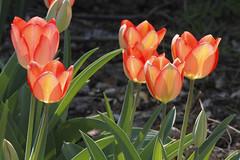 I Never Tiptoe (jhaskellus) Tags: flowers arizona tulips superior arboretum tulip blooms thompson boyce boycethompsonarboretum bta boycethompson demonstrationgarden jhaskellus jhaskell jackhaskell