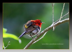 Crimson Sunbird (Ericbronson's Photography) Tags: bird nature crimson canon interesting singapore wildlife sunbird ericbronson mygearandme mygearandmepremium